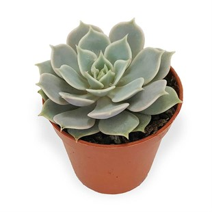 Echeveria Soft Green